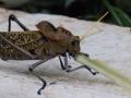 5 inch Grasshopper